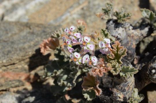 S2643 Geraniaceae sp