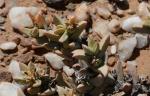 S2653 – Cheiridopsis#5