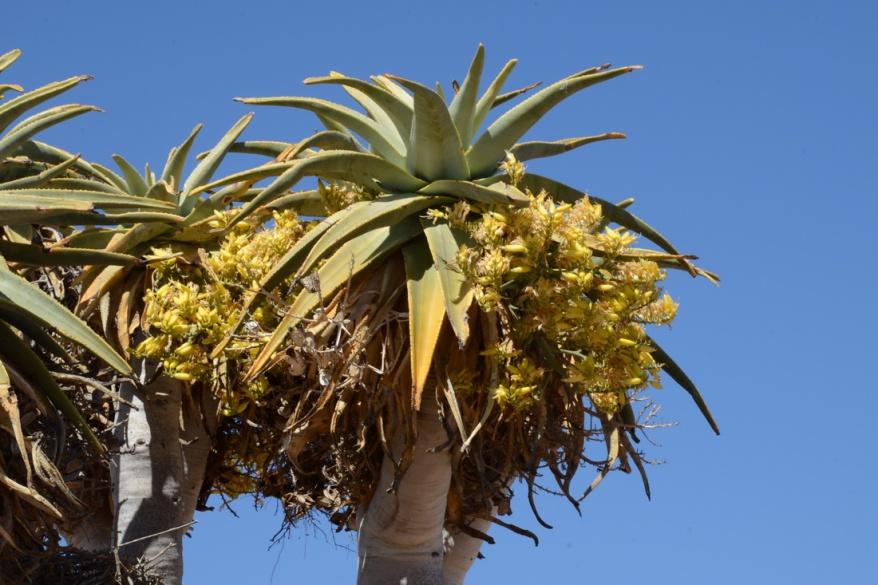 S2656 - Aloe pillansii