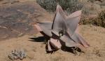 S2656 - Aloe striata ssp karasbergensis