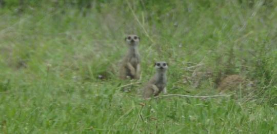 S2777 - roadside Meerkats