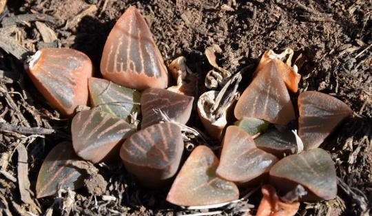 S2799 - Haworthia pygmaea