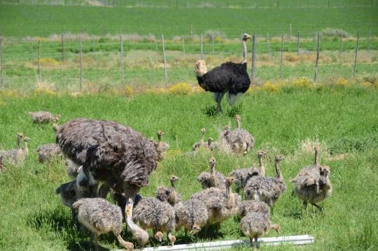 S2801 - Ostriches