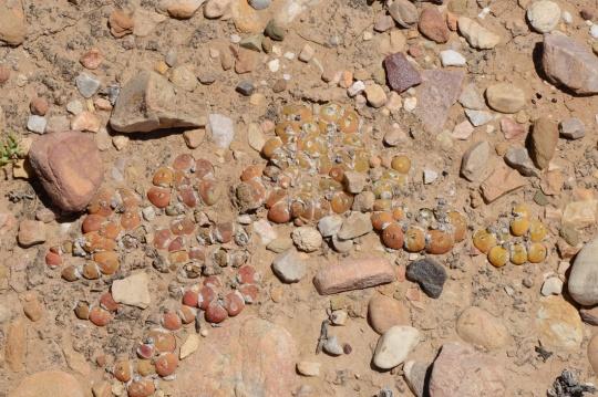 S2802 - Gibbaeum nuciforme (G. cryptopodium)