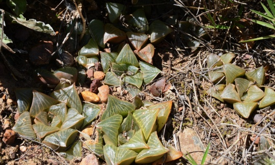 S2813 - Haworthia retusa
