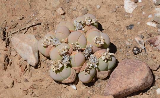 S2823 - Gibbaeum heathii