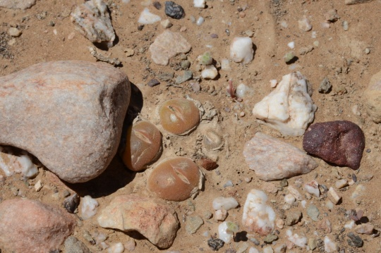 S2823 - Gibbaeum nuciforme (G cryptopodium)