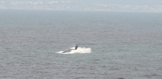 S2830 - whale waving