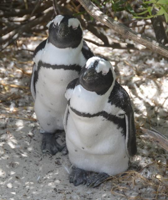 S2831 - Sphenisus demersus - African penguins