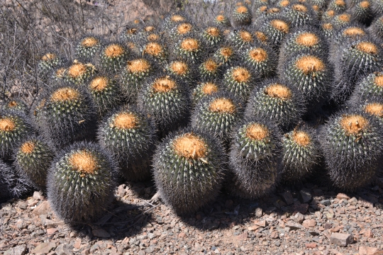 Copiapoa cinerea ssp haseltoniana (= C. eremophila) on the edge of the Desert, east of Paposo at 850 m altitude.