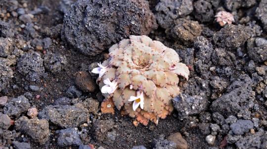 Viola congesta Gillies ex Hook. & Arn. (ex-volcanica)