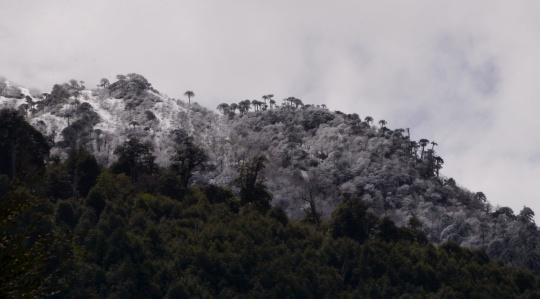 Auracaria in the snow