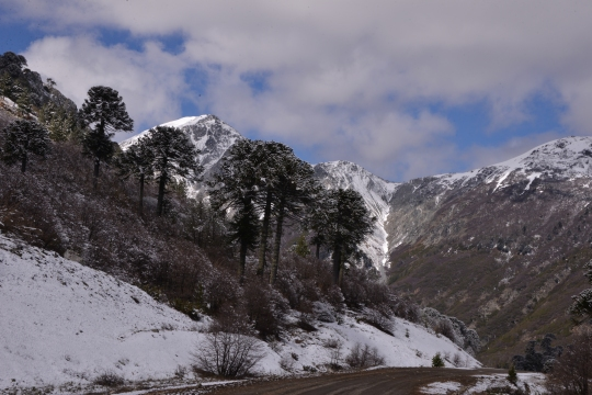 More Araucaria and snow, but no cacti!