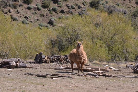 Another reminder of our altitude - llama.
