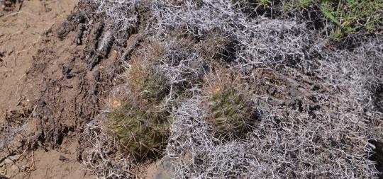 Austrocactus bertinii (S2870)
