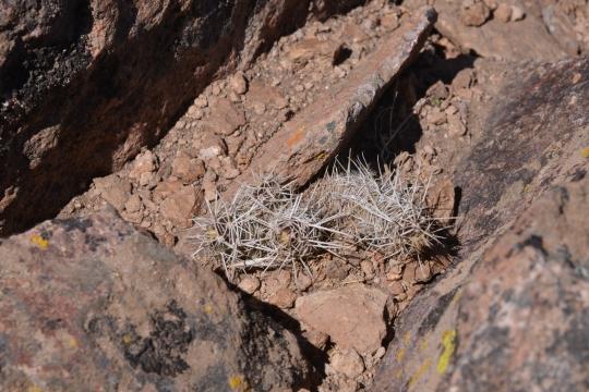 Austrocactus bertinii