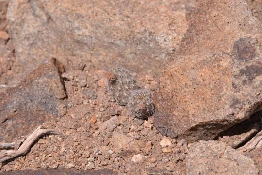 Pterocactus sp.