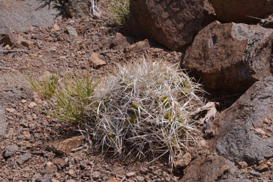 Maihueniopsis glomerata subs. hypogaea