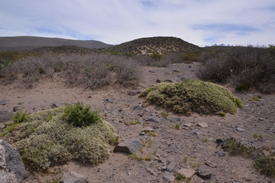 Maihuenia patagonica mounds (S2875)