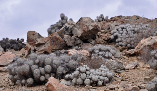 S2892 - Copiapoa dealbata at Quebrada Mala