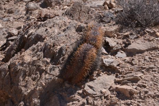 Copiapoa andina crest (S2899)