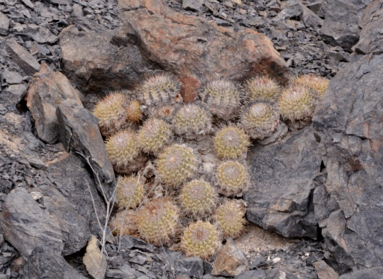 S2908 Copiapoa cinerascens