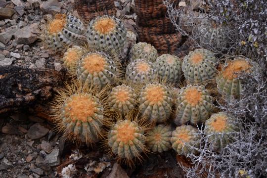 S2923 Copiapoa cinerea ssp haseltoniana