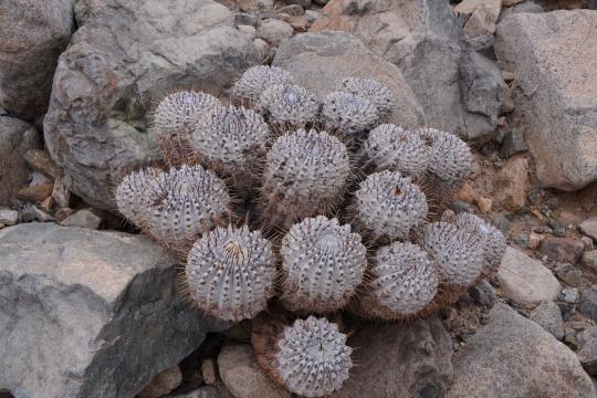 S2921 Copiapoa ssp cinerea
