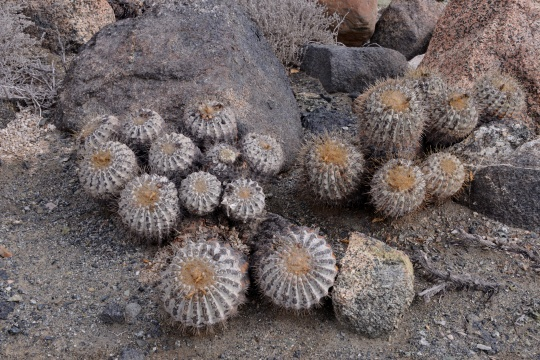 S2929 Copiapoa cinerea ssp haseltoniana