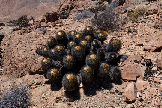 S2931A particularly tightly spined (dehydrated?) Copiapoa cinerea - Ritter's C .tenabrosa)
