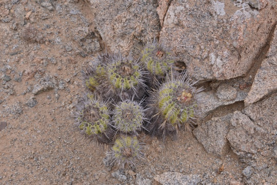 S2936 Copiapoa marginata at its Type Location