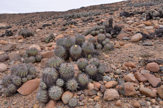 S2948 Copiapoa alticostata, C.coquimbana and C.  echinoides are all said to grow here, but which is which?