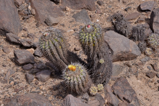 S2949 Copiapoa alticostata, C.coquimbana and C.  echinoides are all said to grow here, but which is which?