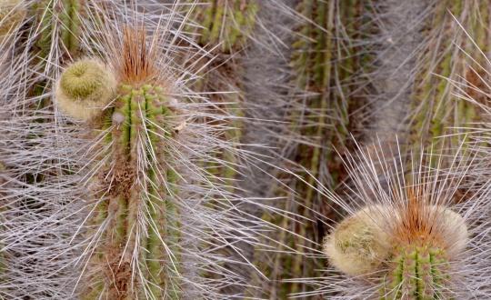 S2962 Eulychnia breviflora fa