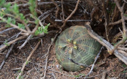 S2761 - Euphorbia obesa