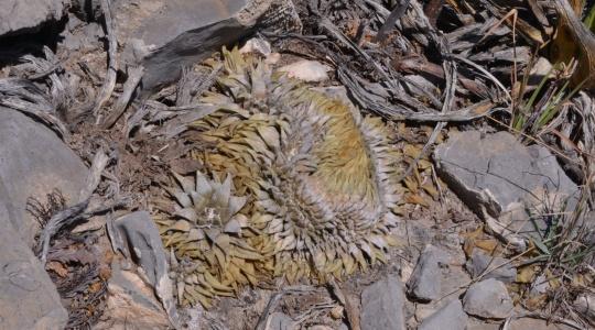 Ariocarpus retusus - S3094