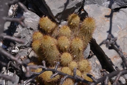 Mammillaria elongata ssp echinaria