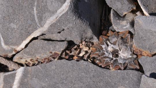 Ariocarpus kotschoubeyanus 'elephantidens'