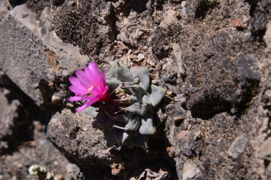 Turbinicarpus alonsoi in flower
