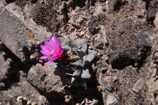 Turbinicarpus alonsoi in flower