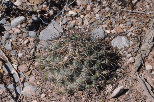 Coryphantha sp