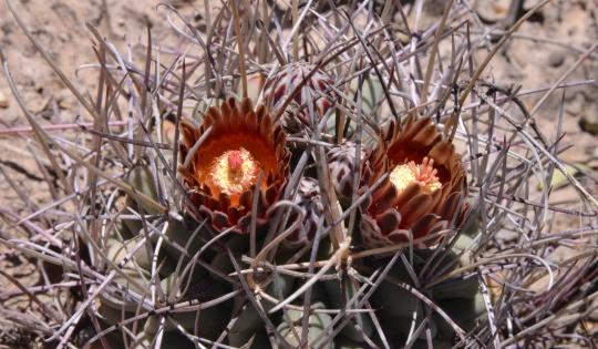 Sclerocactus (Ancistrocactus) uncinatus - S3075