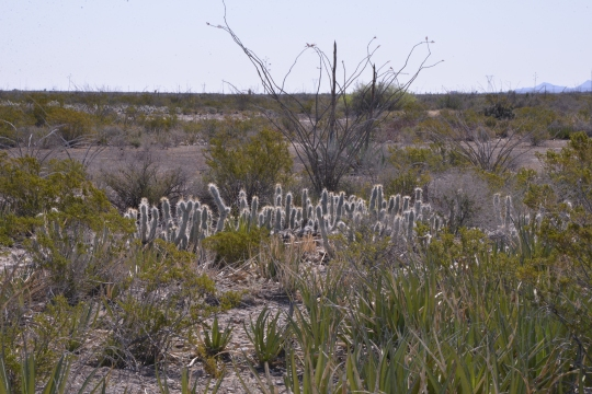 Agave lechuguilla (foreground) Grusonia bradtiana (middle) Fouquieria splendens (Background)