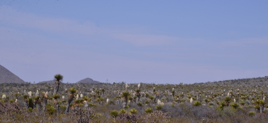 Yucca forest - S3087