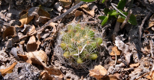 Mammillaria baumii - S3108