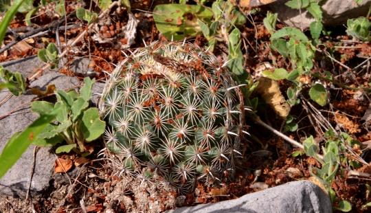 Coryphantha delicata - S3110