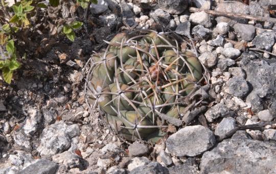Thelocactus hexaedroforus - S3126