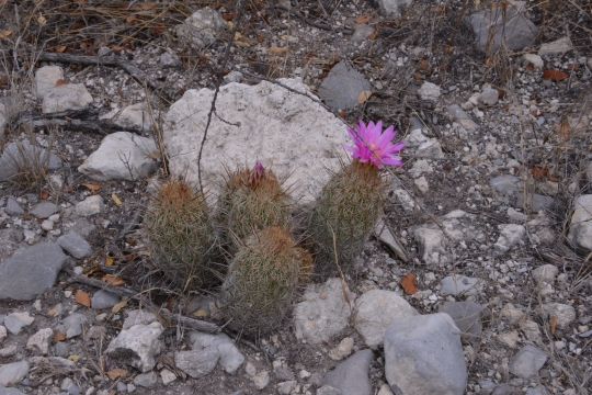 Thelocactus hastifer - S3134