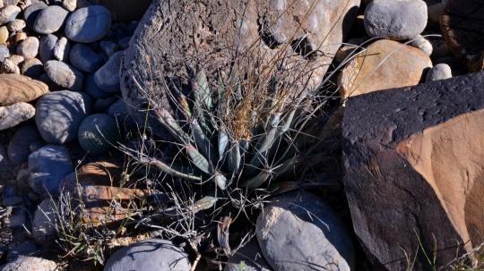 Leuchtenbergia principis - S3095