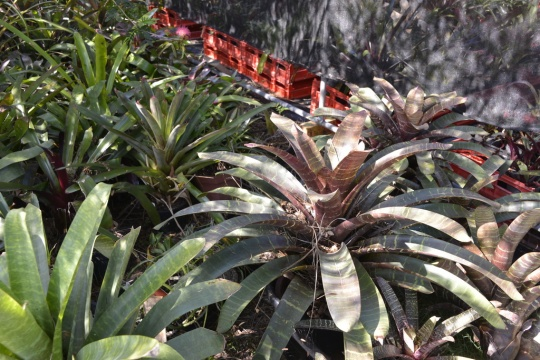 Lovely markings and colours on these Bromeliads - sorry, I could not find a label.